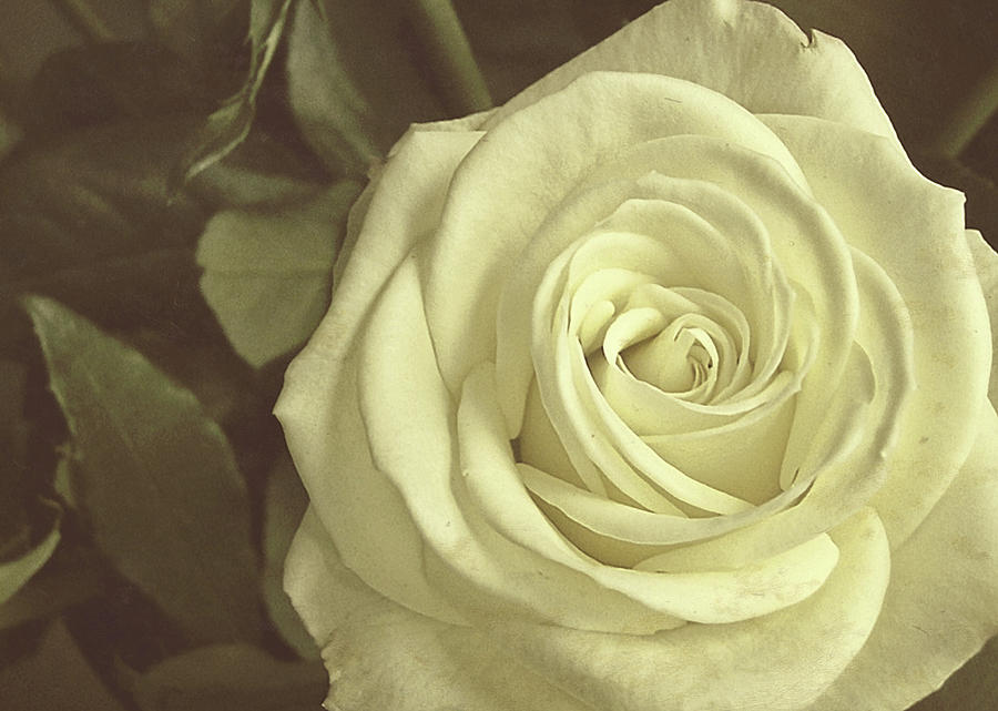 Rose Photograph - Timeless Rose by JAMART Photography