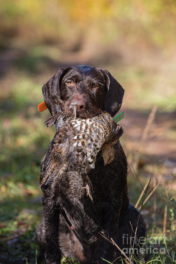 Grouse Woodcock Hunting Stock Photo Image Photograph by Chip Laughton