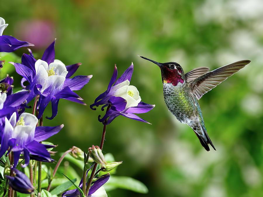 anna's Hummingbird; Bird; Fly; Flowers; Outdoors; Backyard; Flight; Gorget; Iridescent; Calypte; Anna; Masséna; Hovering; Feeding; Nectar; Sweet; Liquid; Sugar; calypte Anna  Photograph - Annas Hummingbird by Thy Bun