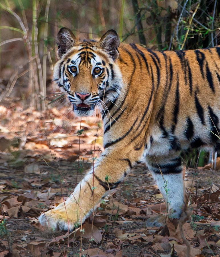 Color Image Photograph - Bengal Tiger Panthera Tigris Tigris by Panoramic Images