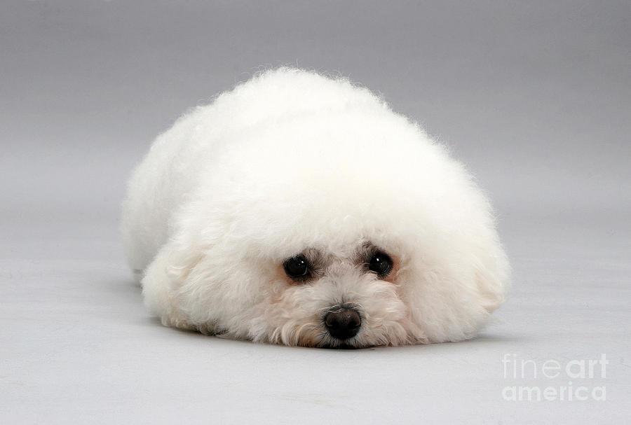 Dog Photograph - Bichon Frise by Jane Burton