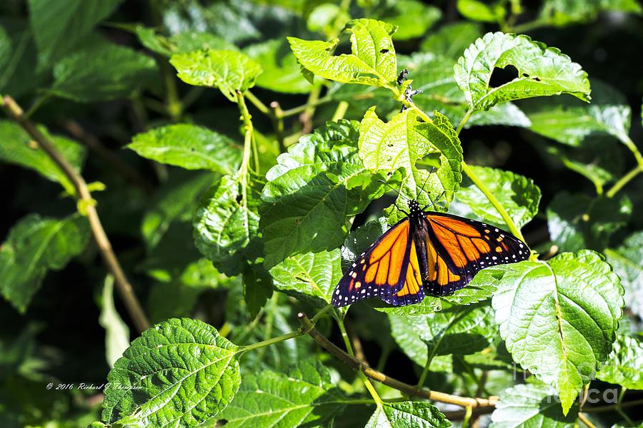 Butterfly by Richard J Thompson