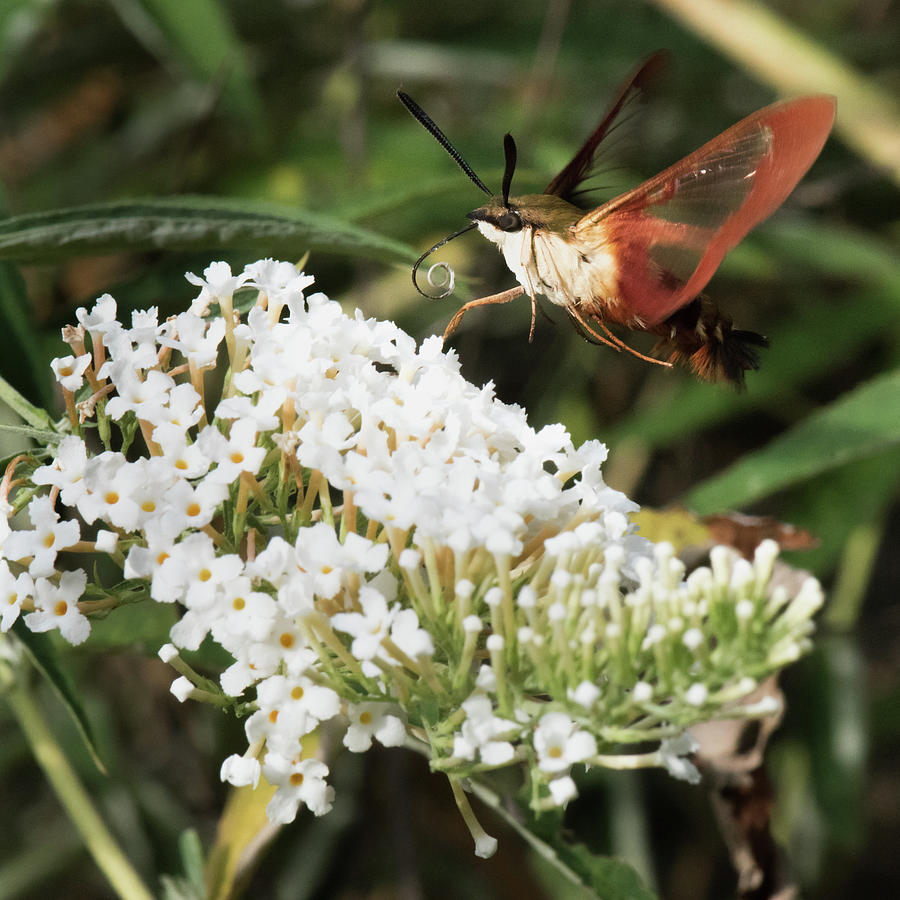 Rain Photograph - Clearwing Hummingbird Moth by Clifford Pugliese