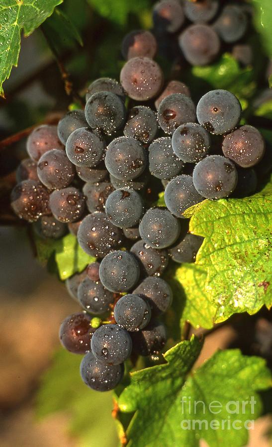Wine Photograph - Grapes Growing On Vine by Bernard Jaubert