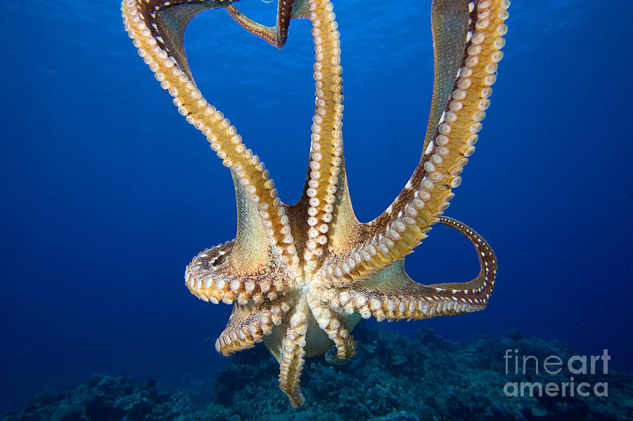 Abstract Photograph - Hawaii, Day Octopus by Dave Fleetham - Printscapes