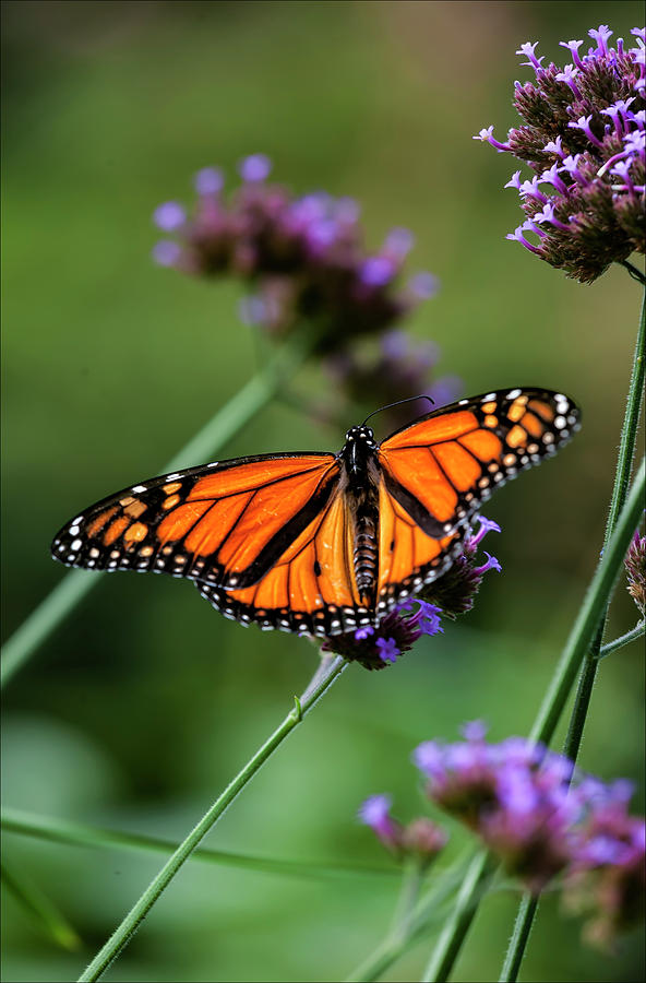 Nature Photograph - Monarch Butterfly by Robert Ullmann