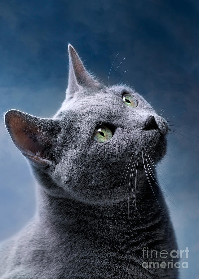 Russian Blue Cat Photograph