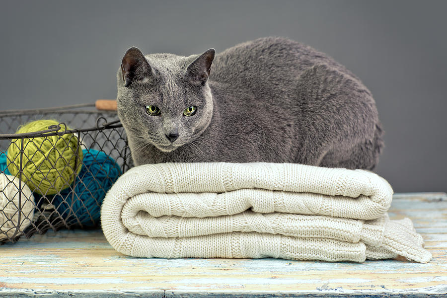 Purebred Photograph - Russian Blue by Nailia Schwarz