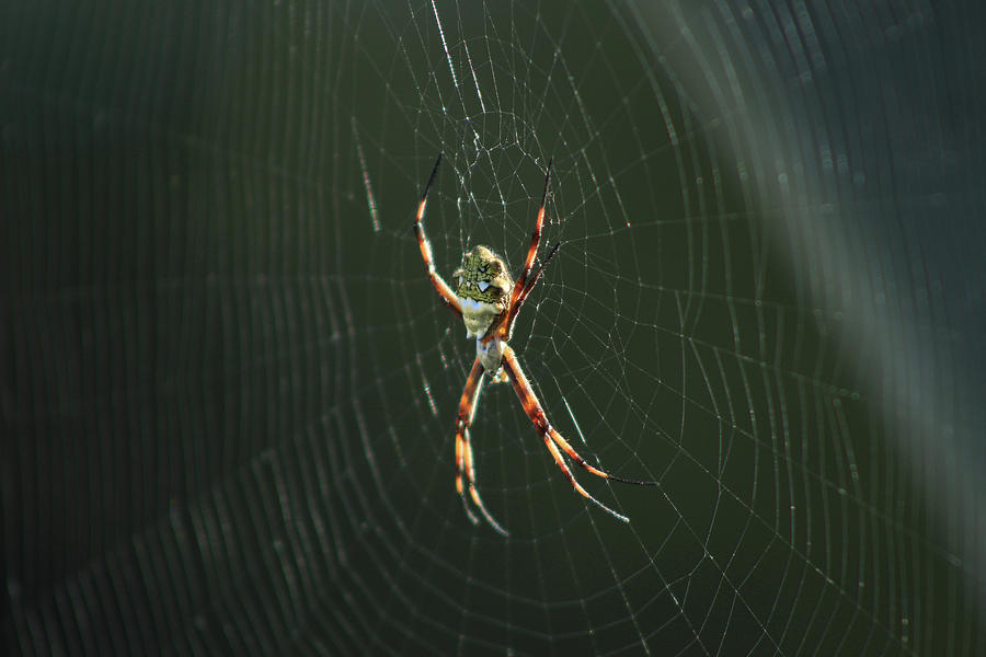 Orb Weaver Spider Photograph - Spider On A Web by Robert Hamm