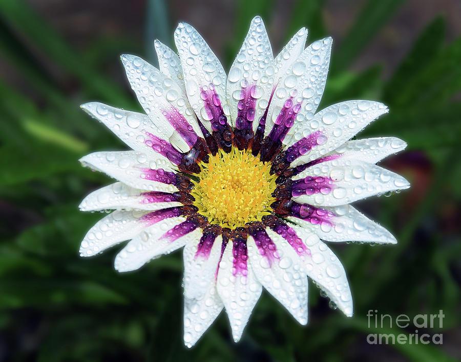 Flowers Photograph - White Gazania by Elvira Ladocki
