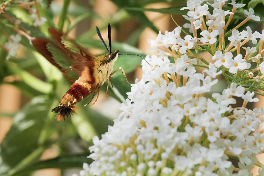 Rain Photograph - Clearwing Hummingbird Moth by Clifford Pugliese