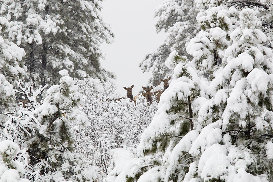 Elk Photograph - Elk in Deep Snow in the Pike National Forest by Steven Krull