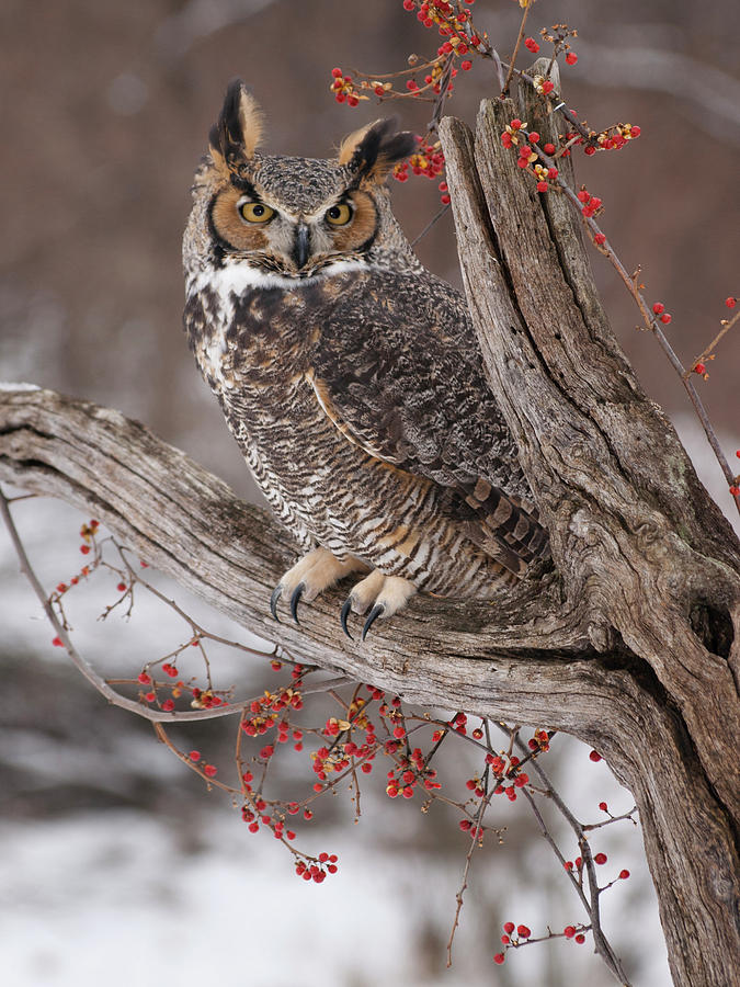 Great Horned Owl Photograph - Great Horned Owl by Cindy Lindow