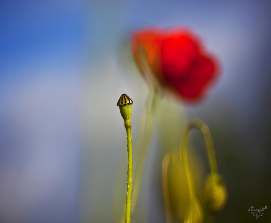 Blumen Photograph - Mohnblume by Renata Vogl