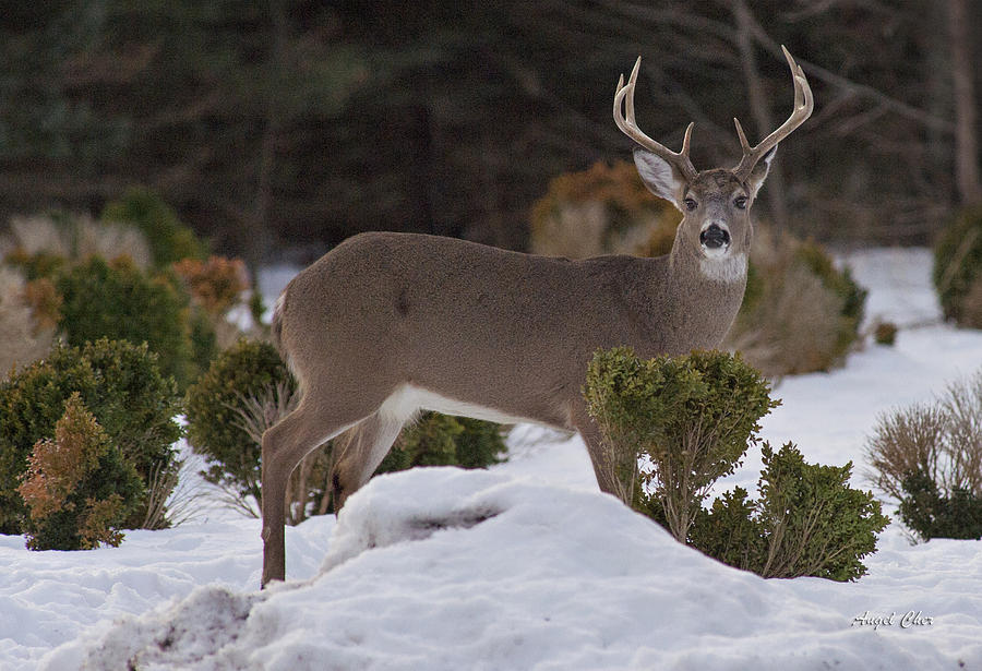 Buck Photograph - 8 Point Beauty by Angel Cher