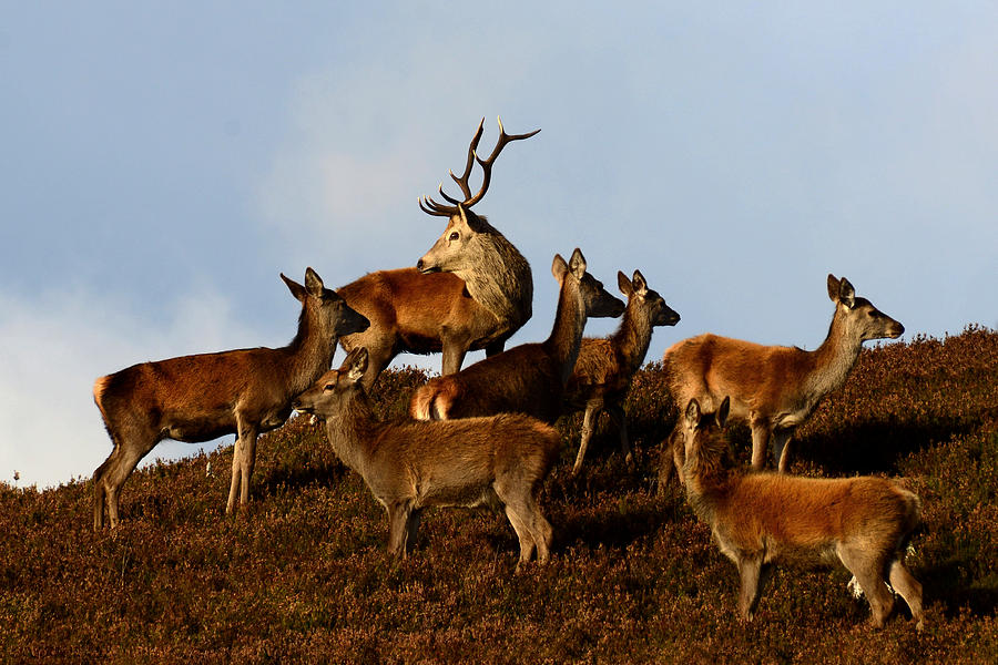 Red Deer Stag Photograph - Red Deer In The Highlands by Gavin MacRae