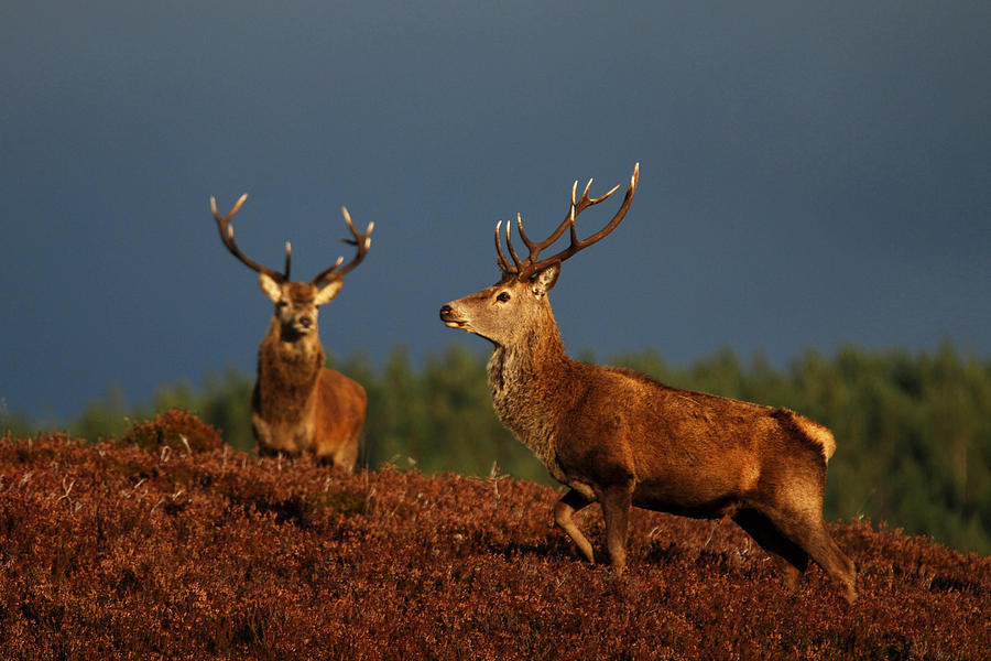 Red Deer Stags Photograph