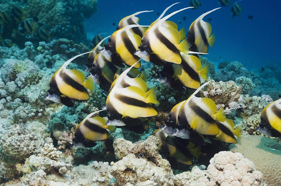 Red Sea Bannerfish Photograph - Red Sea Bannerfish by Georgette Douwma