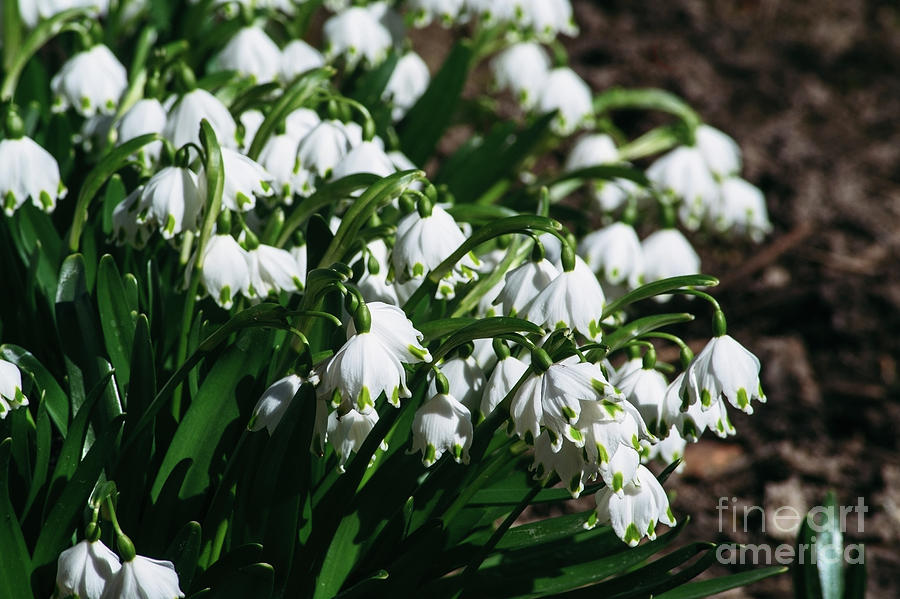 Snowdrops are the first spring flowers that bloom early spring spring photograph snowdrops are the first spring flowers that bloom early spring by oleksandr masnyi mightylinksfo