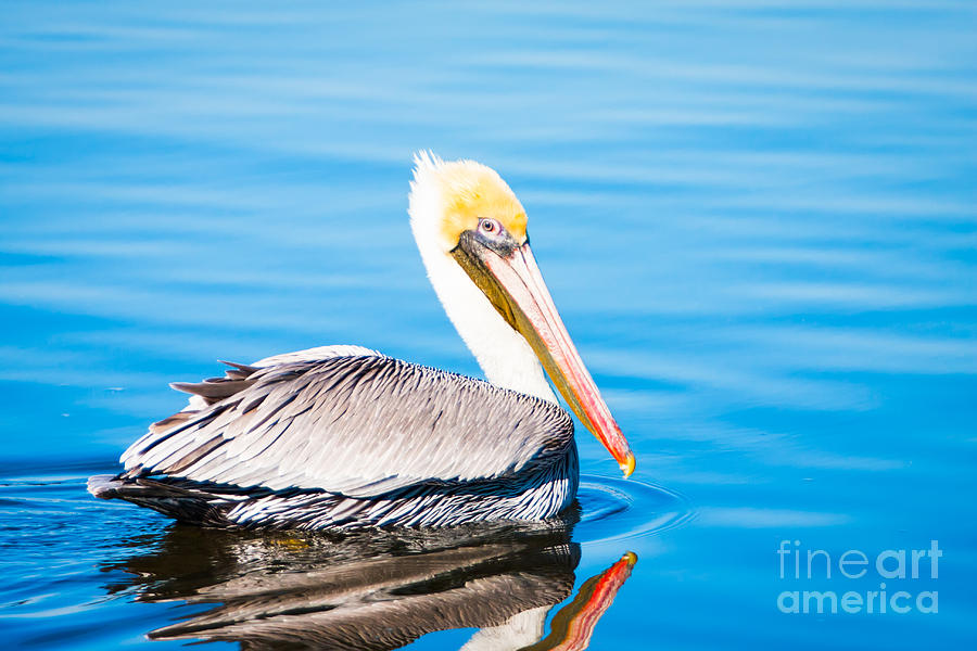 Wildlife Photograph - Pelican Blue by Michael McStamp