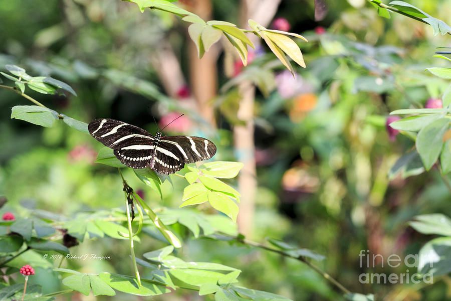 Zebra Longwings Butterfly by Richard J Thompson