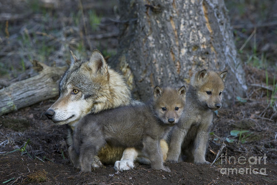 Gray Wolf Photograph - Gray Wolf And Cubs by Jean-Louis Klein & Marie-Luce Hubert