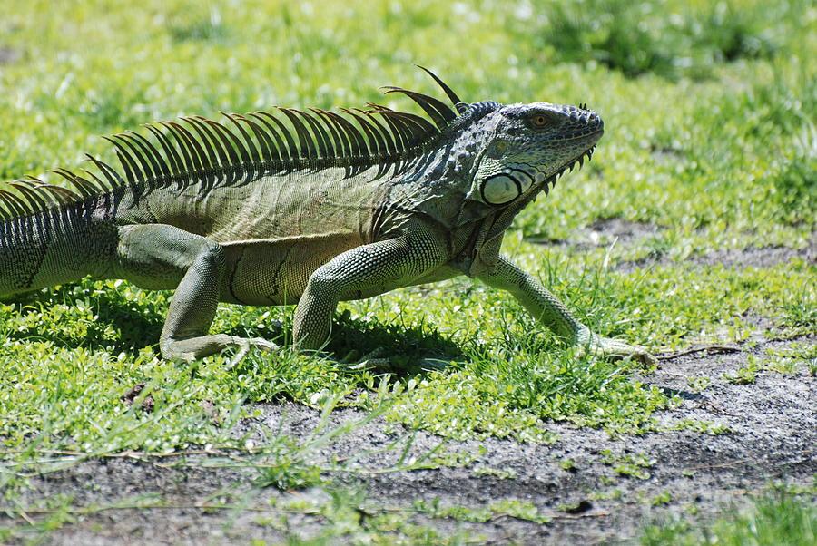 Macro Photograph - I Iguana by Rob Hans