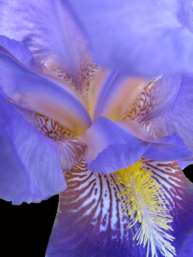 Flowers Photograph - Iris by Michele Caporaso