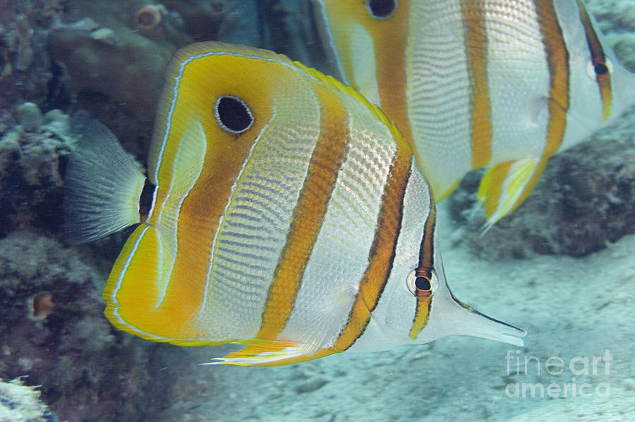 Banded Photograph - Malaysia Marine Life by Dave Fleetham - Printscapes