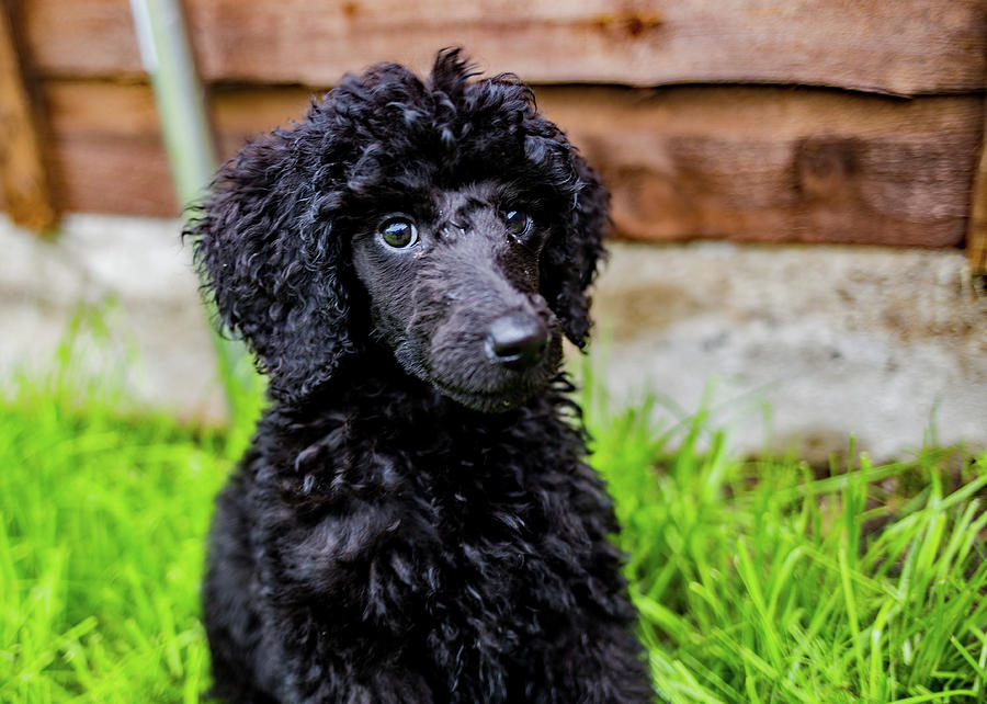Black Poodle Photograph - Poodle Puppy by Ed James