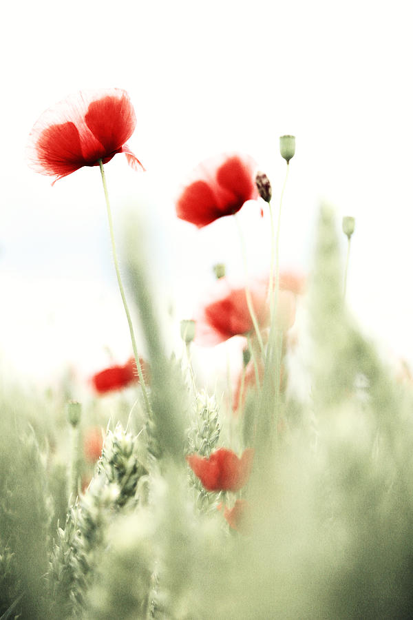 Blume Photograph - Poppies by Falko Follert