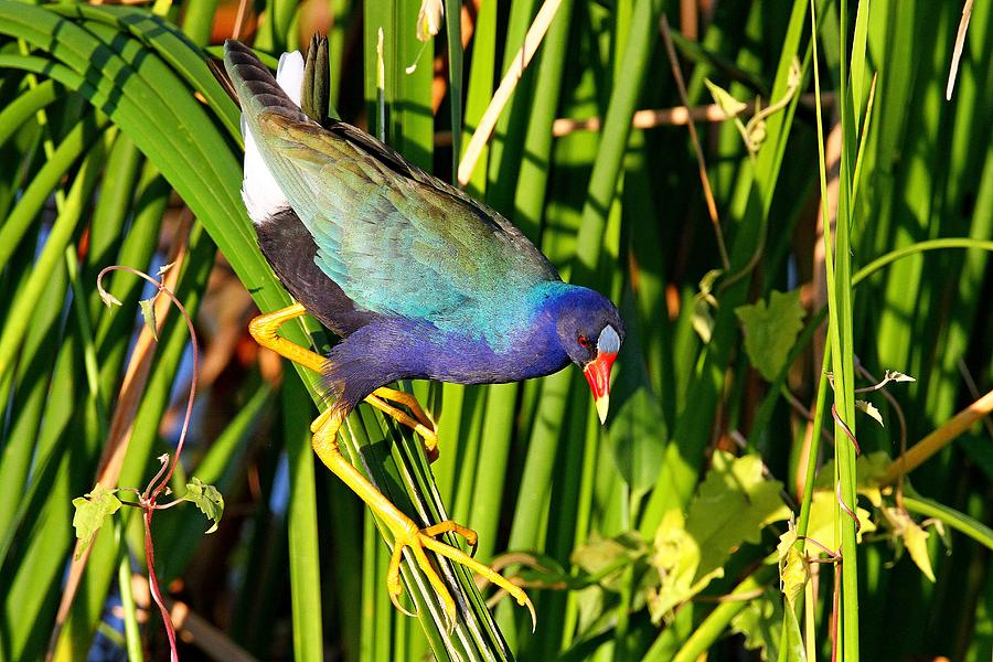 Purple Gallinule by Ira Runyan