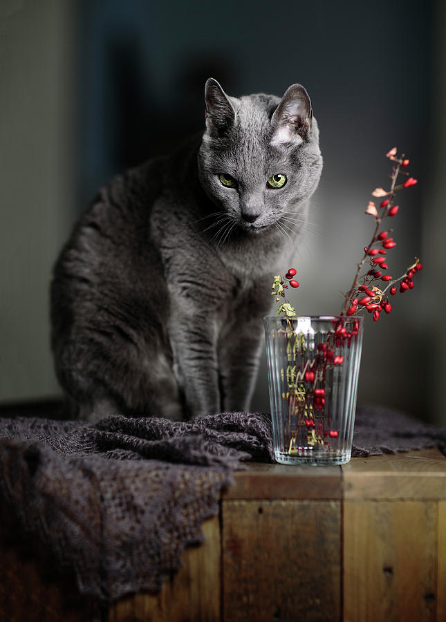 Russian Blue Photograph - Russian Blue by Nailia Schwarz