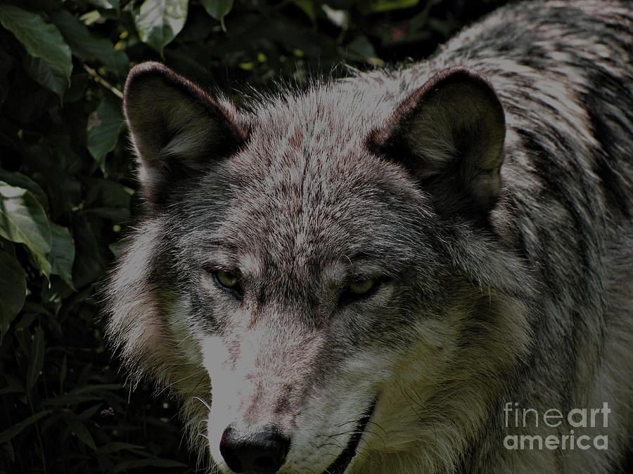 Wild Wolf Photograph - The Wild Wolve Group B by Debra     Vatalaro