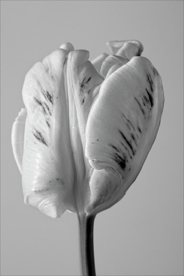 Floral Still Life Photograph - White Tulip by Robert Ullmann