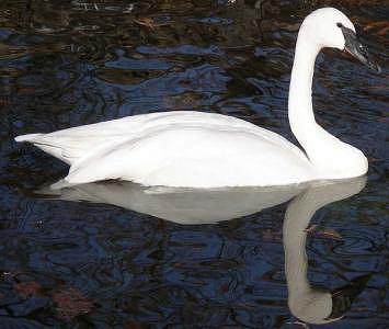 Swan Photograph - Trumpeter Swan Reflection by Bryce Meyer