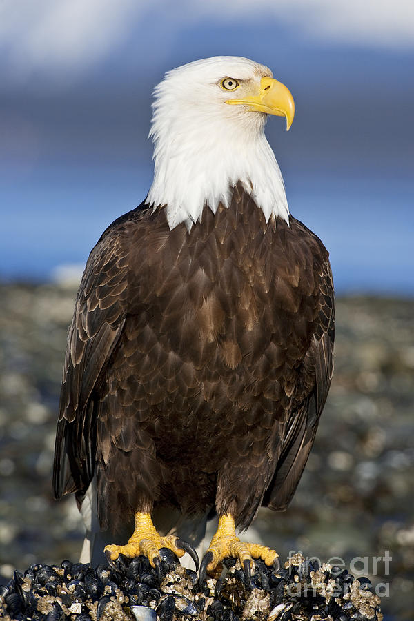 American Photograph - A Bald Eagle by John Hyde - Printscapes