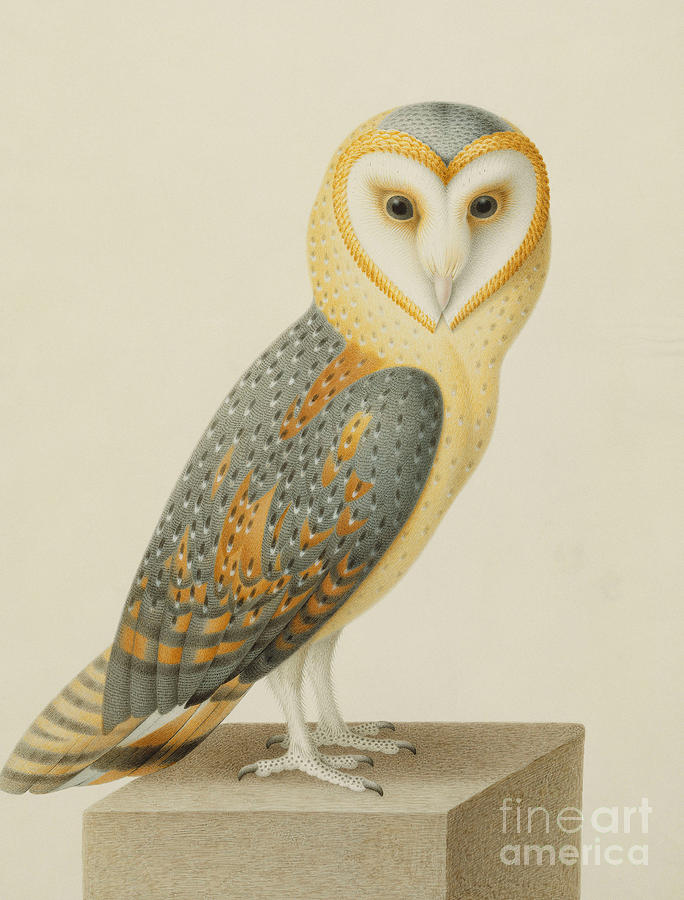 Owl Painting - A Barn Owl by Nicolas Robert