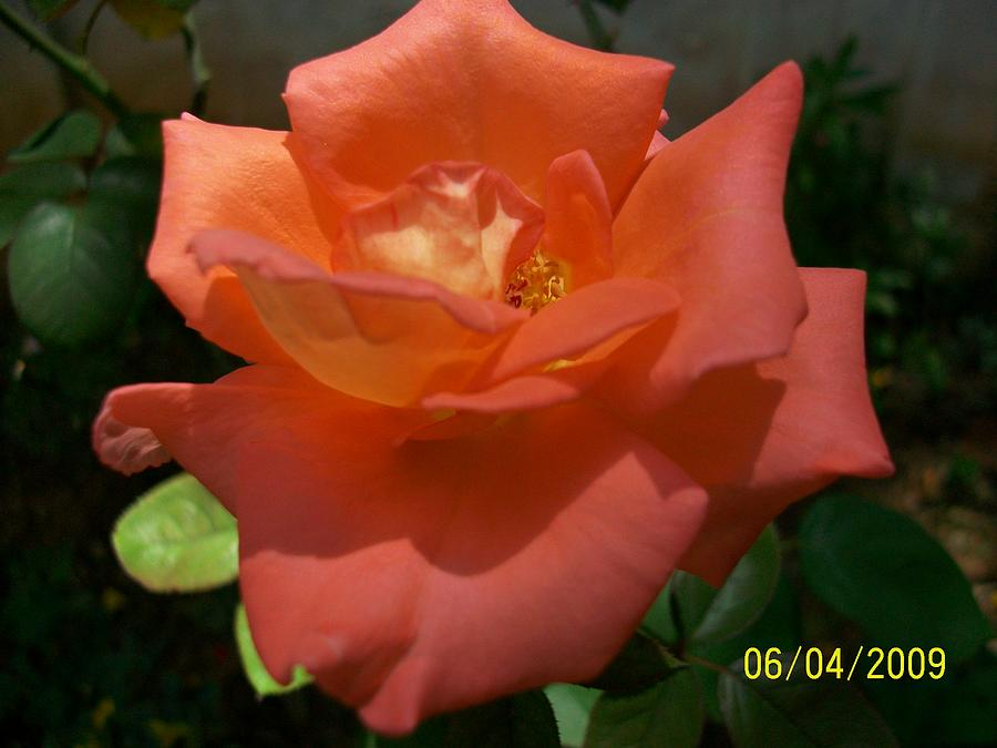 Rose Photograph - A beautiful day by Vivian R