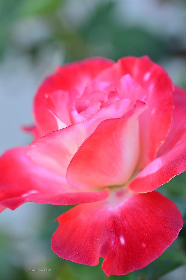 Rose Photograph - A Beautiful Evening Awaits by Donna Blackhall