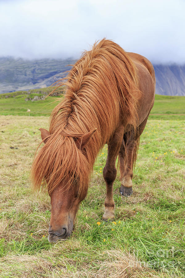 Iceland Photograph - A Beautiful Red Mane On An Icelandic Horse by Edward Fielding