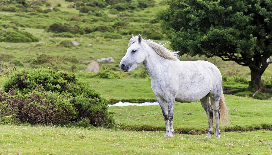 England Photograph - A Beautiful White Dartmoor Pony, Devon, England by Derrick Neill