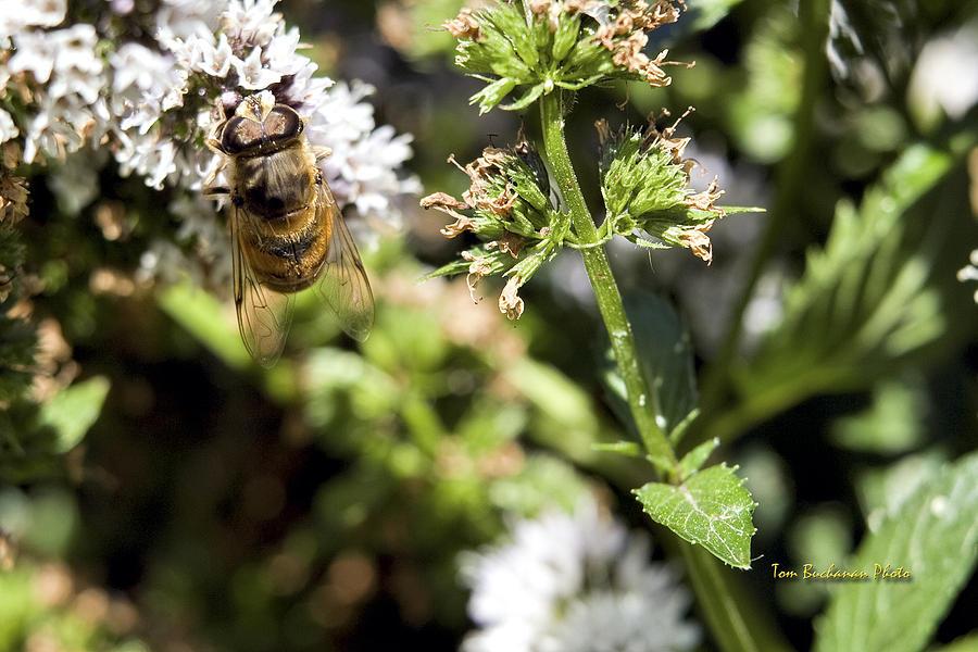 Honey Bee Photograph - A Bee On A Flower by Tom Buchanan
