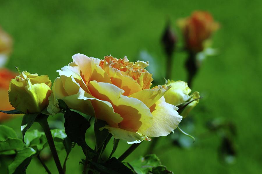 Roses Photograph - A Benton City Rose  by Jeff Swan