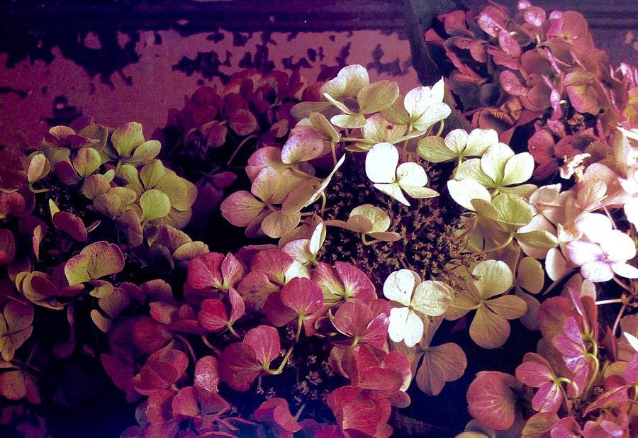 A Bevy Of Hydrangeas  Photograph by Jacqueline Manos