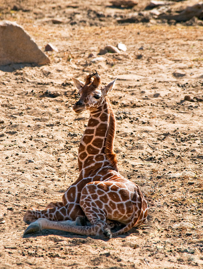 Giraffe Photograph - A Big Baby by Melody Watson