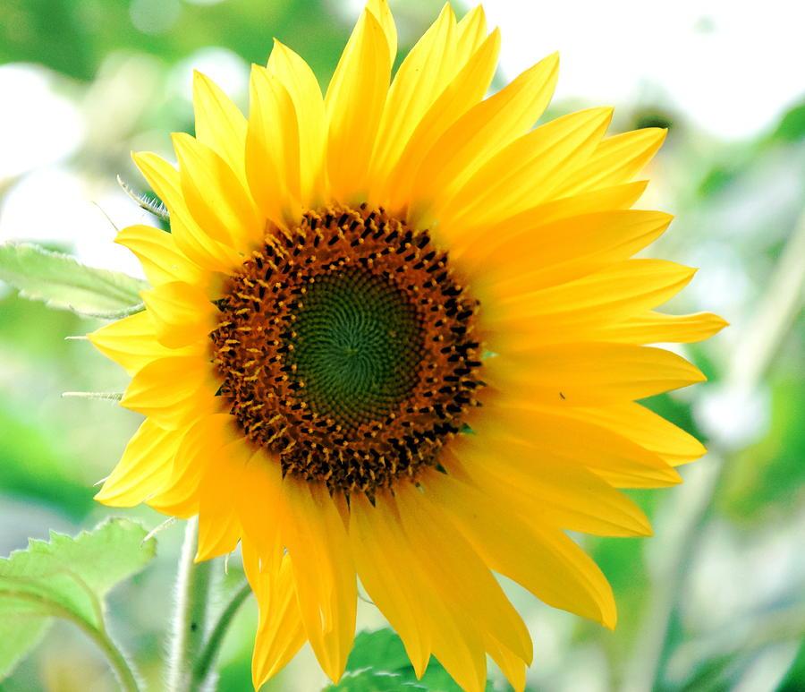 Sunflower Photograph - A Bright Yellow Sunflower by HelenaP Art