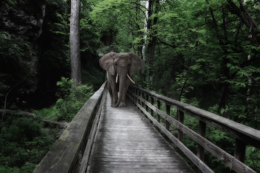 African Photograph - A Bull On The Boardwalk by Tom Mc Nemar