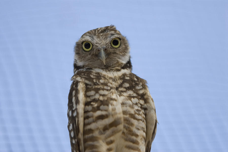 Photography Photograph - A Burrowing Owl Athene Cunicularia by Joel Sartore