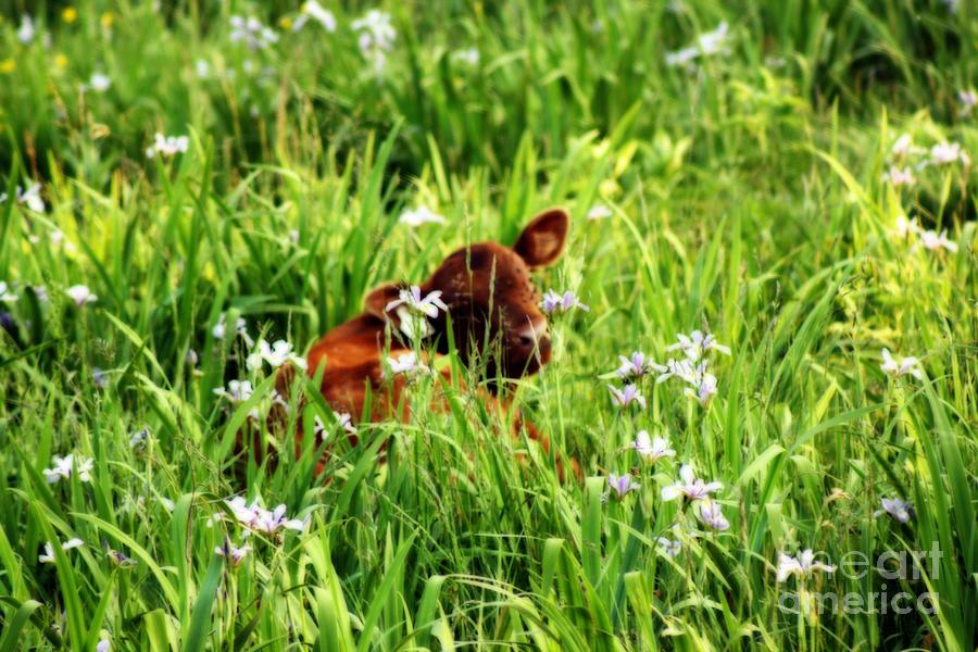 Calf Photograph - A Calfs Perfect Haven  by Cathy  Beharriell
